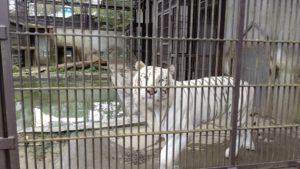宇都宮動物園の虎