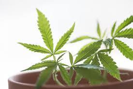 大麻の写真